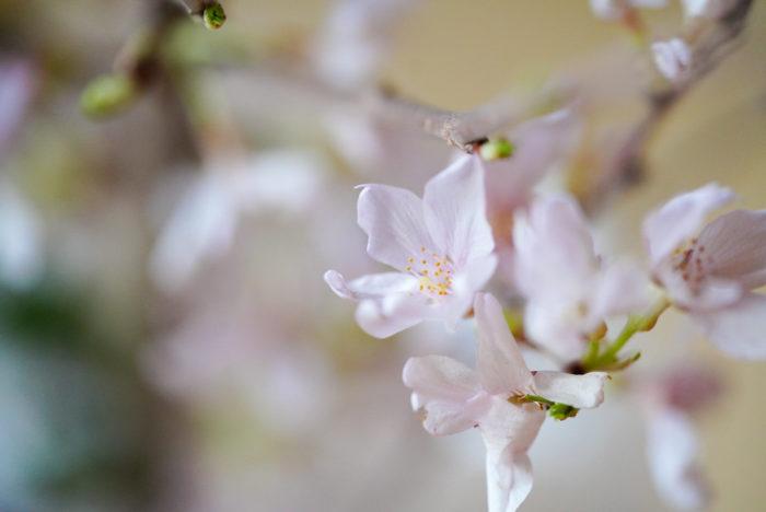 切り花の中では一番人気が高いのが啓翁桜。淡いピンク色の桜で、水揚げの力が強くて、切り花として飾るのにとても適した桜です。葉桜になってからも楽しめるので、長く飾っておけます。