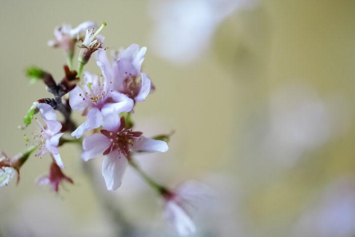 そして、淡くて繊細な花をつける彼岸桜など。花屋さんで飾る時にも名前を確認して、違いを見比べられたらいいですね。少し寂しく見えても、花の咲いている数よりも、つぼみの数が多いものを選ぶと、部屋の中で長く楽しめます。満開に咲いたときはとても嬉しいですよ!