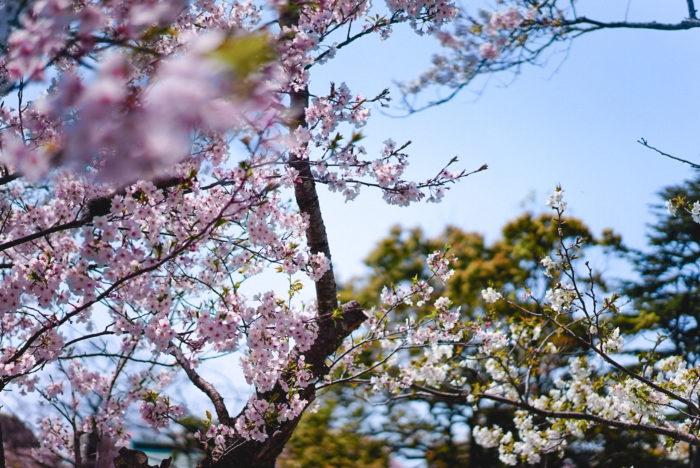 桜が咲きましたね!東京はすっかり満開のピークを過ぎていますが、私の住む鎌倉は少しだけ遅く咲くので、まだまだ楽しめそうです。去年は、ステイホーム期間でしたね。散歩の途中で、息子と桜を見上げていたのが、とても懐かしいです。そんな方も多いのではないでしょうか?