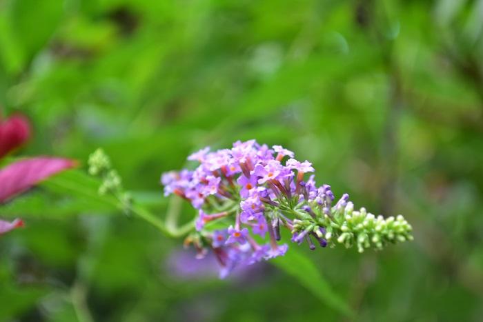 ブッドレアは甘い香りの房状の花を咲かせる低木です。花色は紫、白、ピンク、複色などがあります。