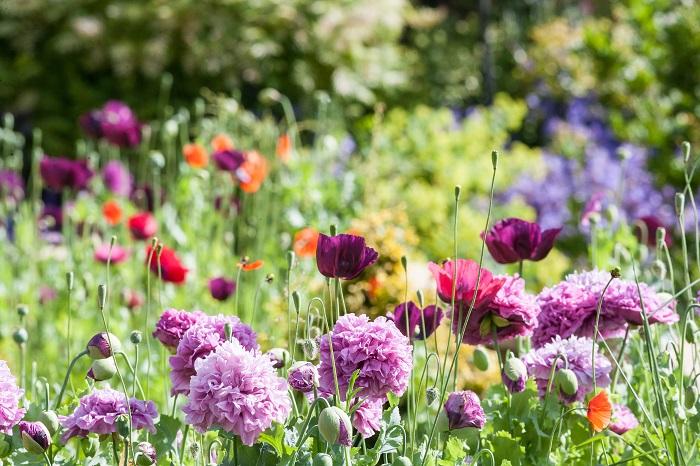 コテージ(cottage)とは、小屋や田舎家を意味する単語です。コテージガーデンはその名の通り田舎家の小さな庭のような、植物溢れる庭のイメージです。  コテージガーデンには果樹や花、ハーブなどが色彩溢れるように植えられています。親密で心地よいクローズドな空間、新しいものと古いものの調和がとれた庭です。
