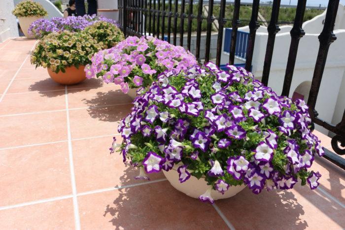 サフィニアは、サントリーフラワーズが販売するお花。発売以来30年にわたってガーデニングファンに愛されてきた、ガーデニングの代名詞ともいえるお花です。