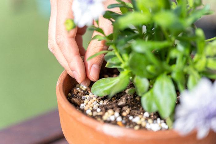 「Plantia 花と野菜と果実の肥料」を追肥として植物のまわりにまきます