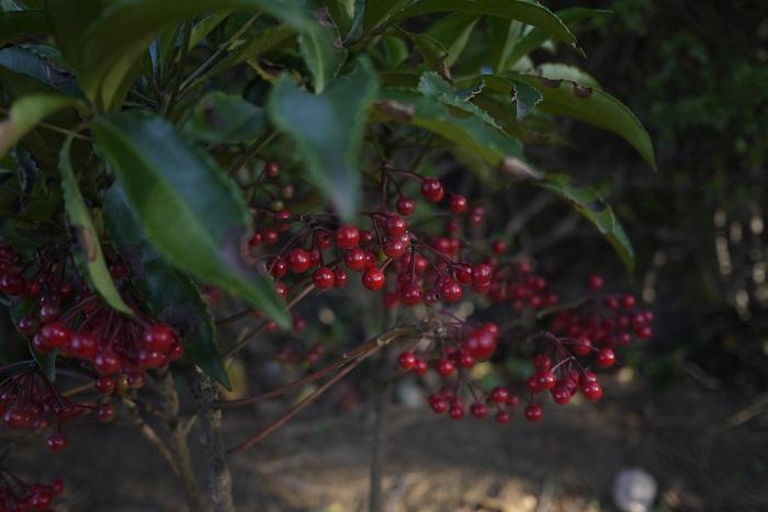 分類:常緑低木 樹高:50㎝ 万両は冬に赤い実を実らせる常緑低木です。その名前からも縁起のよい庭木とされ、お正月のお飾りにも使用されます。