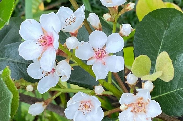 シャリンバイ 分類:常緑低木 樹高:1~4m シャリンバイは、光沢のある葉と梅を思わせるような花が印象的な常緑低木です。生垣によく使用されます。