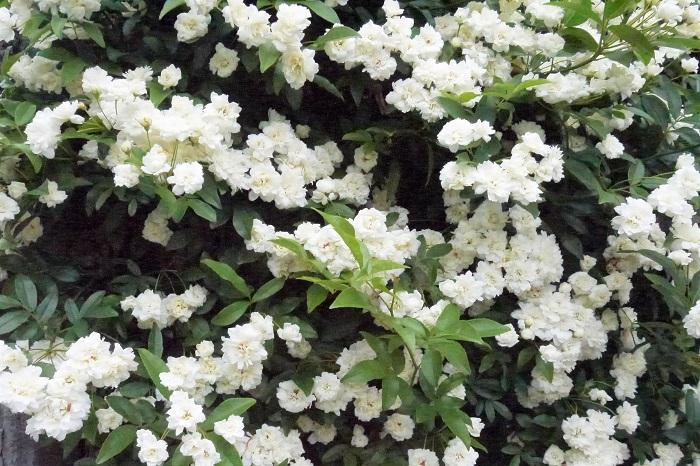 学名:Rosa banksiae 科名、属名:バラ科バラ属 分類:常緑つる性木本 花期:4月~5月 モッコウバラの特徴 モッコウバラは中国南部原産のつるバラです。大きくなると5mを越します。全体にトゲはなく、病害虫の被害が少ないのも特徴です。葉は3~7枚の小葉で明るいグリーン、葉裏はグレーがかったグリーンをしています。  モッコウバラの花は一季咲きで、春に開花します。花色は白か淡黄で、一重咲き、または八重咲き。枝の先に直径2~3㎝の可愛らしい花を房状に咲かせます。  モッコウバラはとても花付きが良く、満開の時期には枝をしならせるほどたわわに花を咲かせるので、遠くからでも人目を惹くほど見事な姿になります。