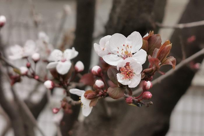 分類:落葉高木 樹高:3~5m 花期:3月~4月 ベニバスモモは桜を小さくしたような可愛らしい花を咲かせる落葉樹です。花の後に出てくる葉は赤味を帯びています。