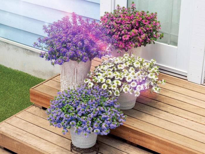 暑さを見た目で和らげる涼しげな花色の「サンク・エール」