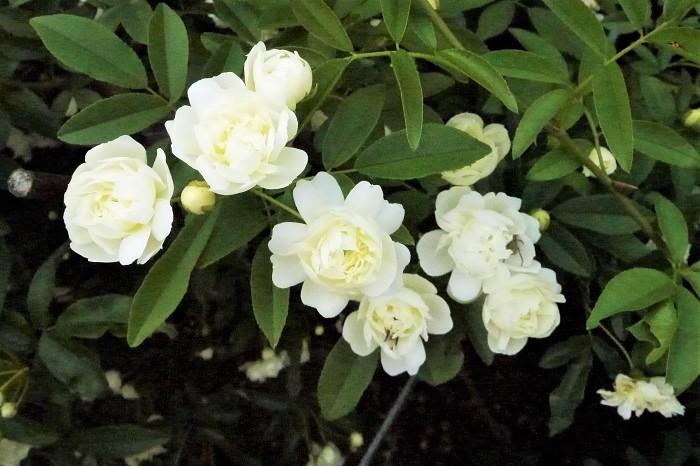 モッコウバラの花には白花と淡黄花の2種があります。それぞれの色の花と、香りについてお話します。  モッコウバラの花の咲く季節 モッコウバラが咲く季節は春、4月~5月です。桜が咲き終わった頃にカスタードクリームのような淡黄や白の小ぶりの花を、枝いっぱいにたわわに咲かせます。  黄色い花のモッコウバラの種類 モッコウバラ・ルテア 学名:Rosa banksiae'Lutea' 八重咲きの黄花のモッコウバラです。キモッコウとも呼ばれます。花色はカスタードクリームのような淡いクリームがかった黄色をしています。花付きが良く、強健で育てやすいので人気の品種です。  白い花のモッコウバラの種類 モッコウバラ・アルバ 学名:Rosa banksiae'Alba' 八重咲きの白花のモッコウバラです。真白な花を咲かせます。真白な花を枝をしならせるくらいにたっぷりと咲かせます。  モッコウバラ・ノルマリス 学名:Rosa banksiae var. normalis 一重咲きの白花のモッコウバラです。モッコウバラの野生種と言われています。花色は真っ白で花びらは5枚、イチゴの花に似ています。  モッコウバラの香りは? モッコウバラは原種のバラです。人為的に作出されたバラには香りのないものもありますが、モッコウバラは原種ならではの芳香があります。  モッコウバラの香りは紅茶のような甘い香りで、あまり強くは香りません。花に顔を近づけて確認できる程度の芳香です。  モッコウバラの香りについては、白花の方が強い、黄花の方が強い、などとそれぞれの主張があるようですが、どちらの色も強くはないけれど優しく甘い芳香があります。