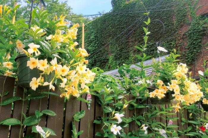 サンパラソル「アプリコット」は一枝にたくさんの花が咲き、つるが美しくしだれる特性を生かしてハンギングにして楽しむのもオススメ。