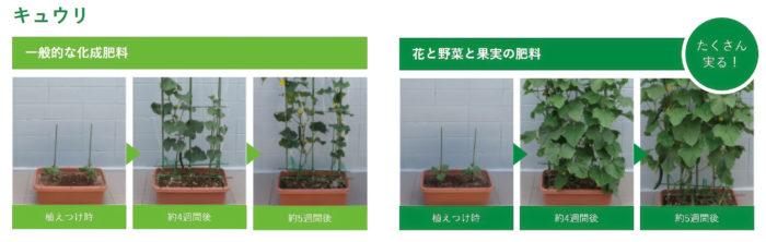 「Plantia 花と野菜と果実の肥料」を使ったキュウリの生育比較