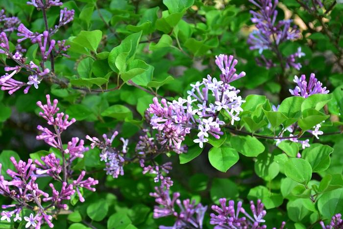 ライラックは優しい香りの花を咲かせる落葉高木です。花色は薄紫、ピンク、白などがあります。
