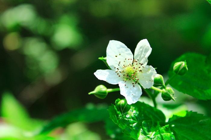 ラズベリーの花が咲く季節は4月~5月、実が熟す季節は6月~7月です。まだ暑くなる前の初夏に収穫します。ラズベリーには1年に2回実がなる二季なり性の品種もあり、こちらは9月~10月にもう一度収穫できます。
