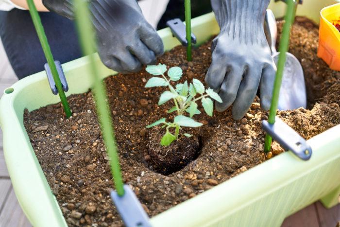 ④土に少し穴を掘り、苗を植えつけます。
