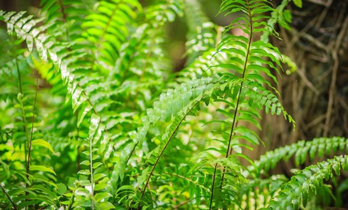 放射状に葉を広げるシダはオーナメントのような役割を果たしてくれる植物です。高さのある鉢に植えこむと独特の雰囲気を演出できます。
