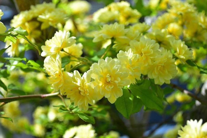 モッコウバラの花言葉