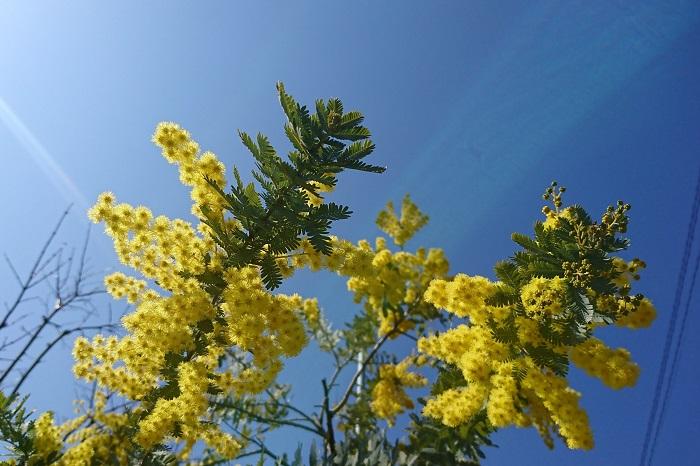 ミモザ 分類:常緑高木 樹高:5~10m ミモザは春に明るい黄色のふわふわとした可愛らしい花を咲かせる花木です。花には芳香があります。