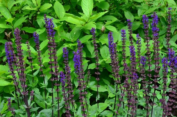 セージにはたくさんの種類があります。セージとサルビアは呼び名が違うだけで同じ植物を指します。草丈高く、草姿が華奢なため、風を感じる植物としてイングリッシュガーデンで好まれます。線状に咲く姿から、ボーダーガーデンの中段~後方に植栽する植物としても利用されています。