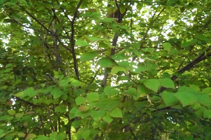 ヒュウガミズキ 分類:落葉低木 樹高:2~3m ヒュウガミズキは春に咲く淡いクリーム色の花が可愛らしい低木です。花の後に出てくる葉も丸みを帯びていて、柔らかく、観賞価値があります。