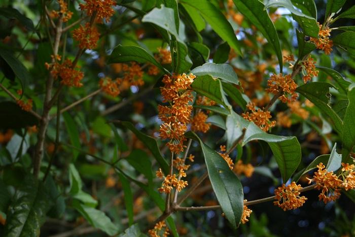 分類:常緑高木 樹高:5~10m キンモクセイは秋に咲かせる香りのよい花が魅力の常緑高木です。葉の密度が高いので目隠しとして好まれます。