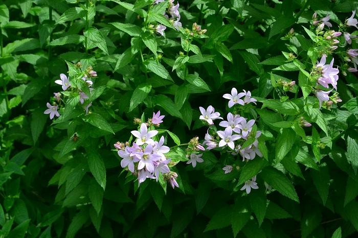 カンパニュラの仲間で、草丈は50㎝以上、群生する姿は美しく見応えがあります。冷涼な気候を好むため、寒冷地向けの植物です。