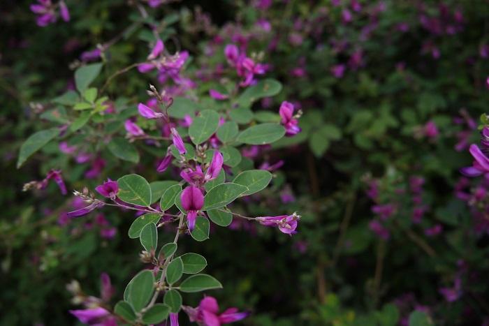 分類:落葉低木 樹高:1~3m 花期:7月~9月 ハギは秋の七草に数えられているマメ科の落葉低木です。晩夏から初秋にかけて咲く紫や白の花からは、秋らしい風情を感じられます。