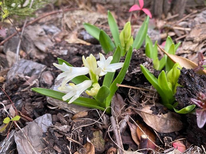 買った年よりは花は少なめですが、これはこれで野草みたいでかわいいです。