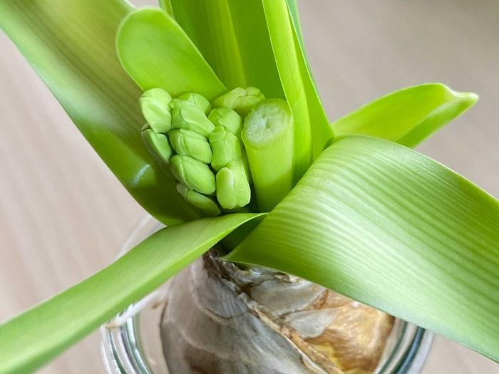まずは終わった花茎をカットします。写真はカットした後。植え付け前の準備はこれで終わり。簡単です!