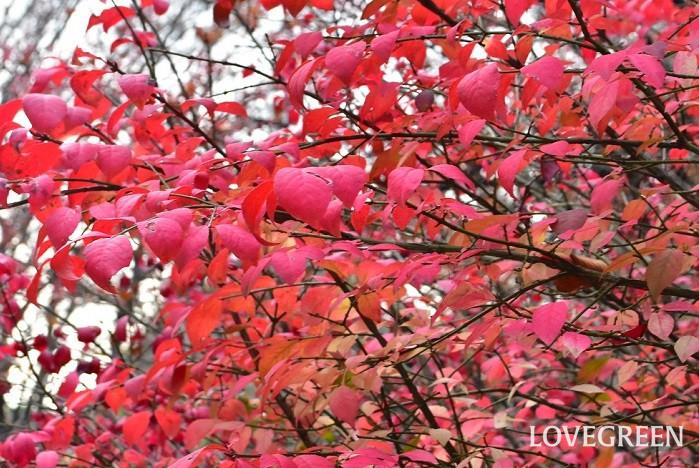特別な冬越しの必要はありません。ニシキギ(錦木)は、秋に真っ赤に紅葉した後、落葉します。