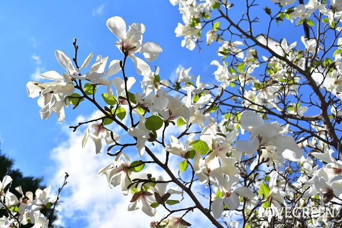マグノリアはモクレンの仲間の総称です。春に高木の上に白やピンク、紫の爽やかな香りの花を咲かせます。