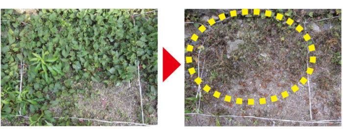生えている雑草への効果が高く、散布ムラ起こりにくい ※ドクダミでの試験 2013年アース製薬自社試験