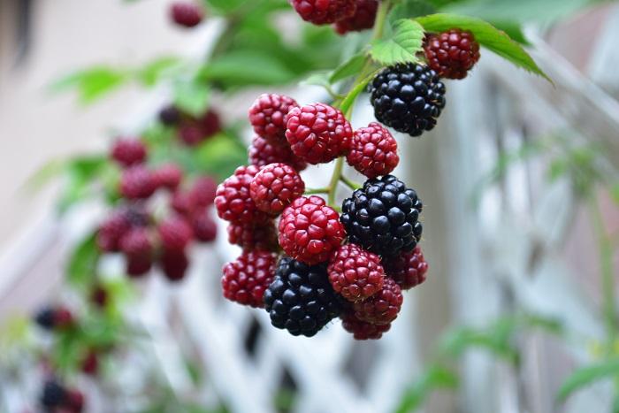 ブラックベリーは、春に咲く花と初夏の黒い果実が魅力の果樹です。つる性ですが自ら絡みついてはいかないので、適宜誘引が必要です。