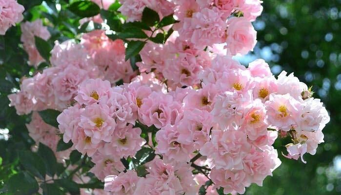 バラは地植えでも鉢植えでも育てられます。大きめの鉢にオベリスクをセットしてつるバラを育てるだけで、美しい景色ができあがります。