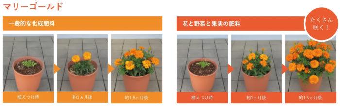 「Plantia 花と野菜と果実の肥料」を使ったマリーゴールドの生育比較
