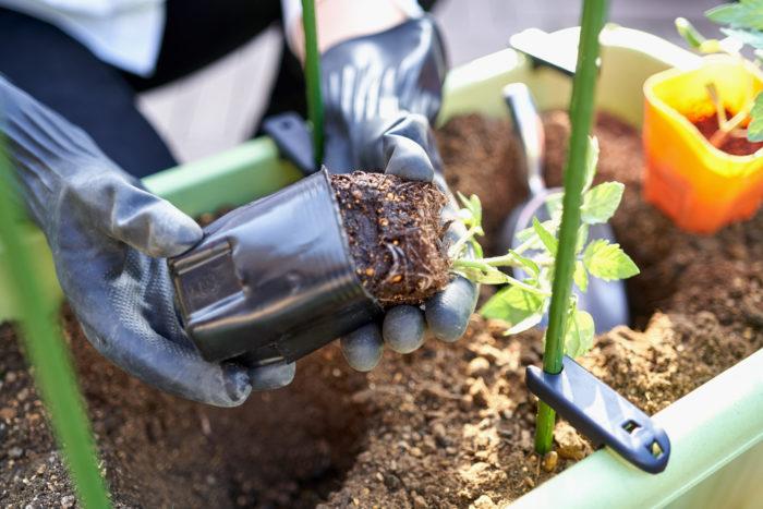 ➂根を崩さないように、ポットからそっと苗を出します。