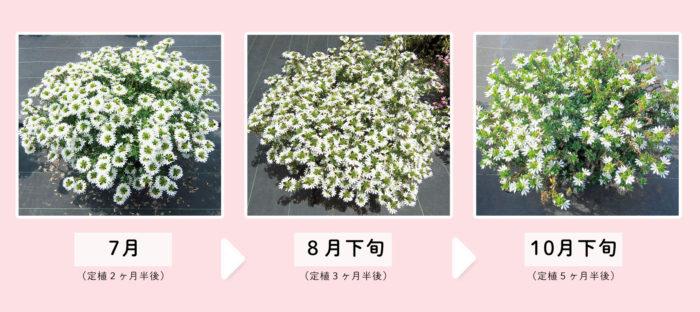真夏を超えて晩秋まで長く花が咲き続ける「サンク・エール」の栽培試験