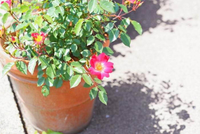 置き場所 ~屋外の日がたっぷり当たる場所で~ 1日最低3時間以上は日が当たる風通しの良い場所で管理してください。鉢はベランダやコンクリートに直置きで大丈夫です。基本的に日光が当たれば当たるほど花を咲かせてくれますが、真夏の西日には要注意。鉢の中が熱くなり、蒸れて根が傷んでしまうので、特に夏場は風通しの良い半日陰程度の場所に鉢を移動しましょう。  水やり 土の表面が乾いたら、気温が上がりきっていない朝方に鉢底から水が流れでるぐらいたっぷり与えます。葉は2、3日濡れた状態が続くと病気になりやすいため注意しましょう。水やりしても、葉がすぐ乾けば大丈夫です。  肥料 植え付け時に元肥を土に混ぜ込むか、元肥入りの土を使います。その後、開花後に追肥を与えましょう。