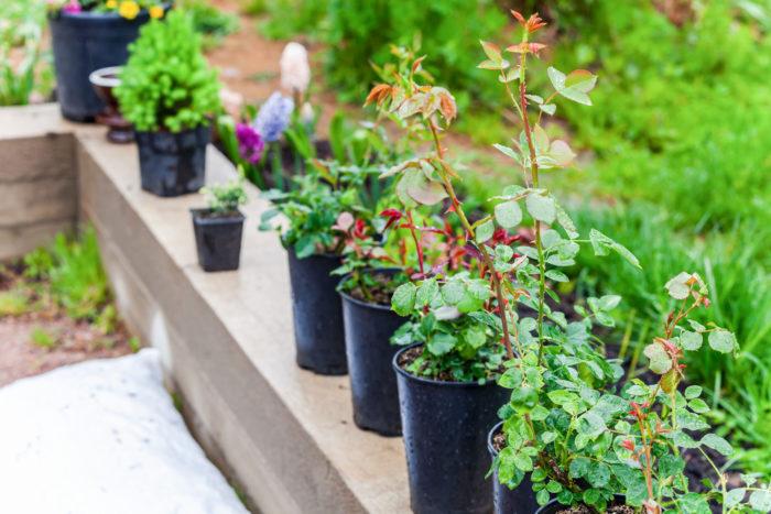 園芸売り場で売られるバラ苗には「新苗」と「大苗」があります。  新苗は冬に接木をされたばかりの若い苗で春に店頭に並びます。まだまだ若い苗のでデリケートですが、その分、価格的にはお得に購入できます。  一方の大苗は、生産者さんが春~秋まで大きく育てたバラを掘り上げた苗で、秋に売られます。新苗に比べると高価ですが、丈夫で翌春にはたくさんの花を咲かせてくれます。