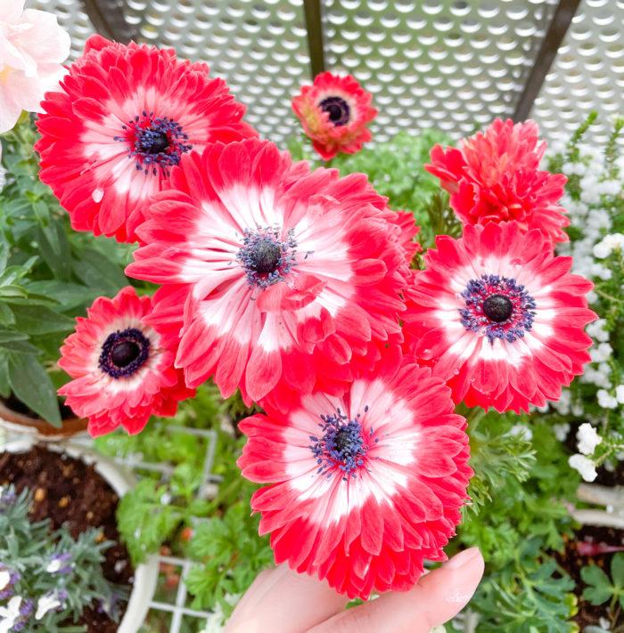 凛々花(リリカ)はガクが幾重にも重なり、とても華やか。今年もたくさんの花を咲かせ、ベランダを彩ってくれましたが、そろそろ花の終わりの季節ですね。切り花として生けようと、剪定していたら、葉にガクがついているのを発見しました!
