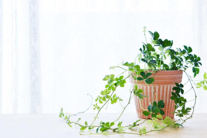 インドアグリーンの定番植物「シュガーバイン」もハクサンの品種