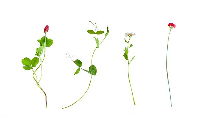 収穫した草花はこちら。  左から  ストロベリーキャンドル エンドウ デイジー アルメリア