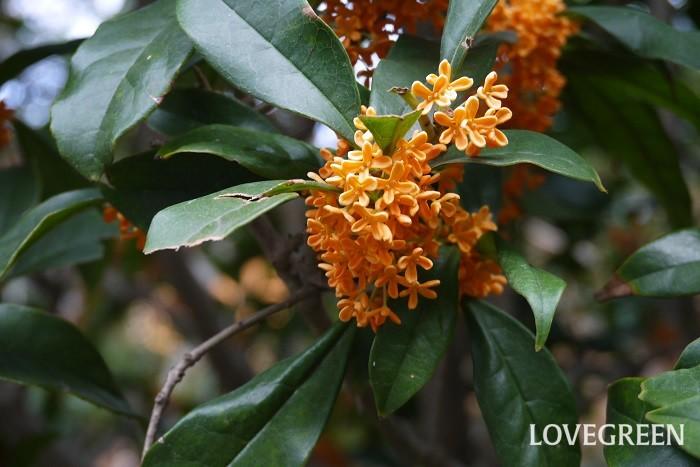 分類:常緑高木 樹高:5~6m 花期:9月~10月 キンモクセイは秋に甘く香りの良い花を咲かせることで人気の常緑高木です。オレンジ色の小さな花を枝いっぱいに咲かせます。キンモクセイは葉の密度も高く、丈夫で強い刈り込みにも耐えるので、庭木、生垣、街路樹として人気があります。