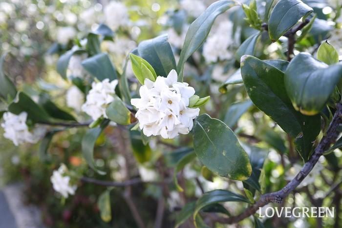 分類:常緑低木 樹高:~1.5m 花期:3月~4月 ジンチョウゲは春に爽やかな香りの良い花を咲かせる常緑低木です。小さな花を毬のように咲かせる姿も可愛らしい庭木です。ジンチョウゲには白花種と赤花種があります。常緑で丈夫なため、生垣や庭木として好まれます。