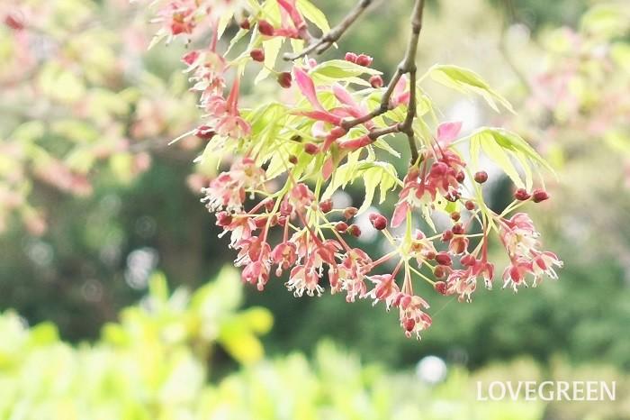 イロハモミジの花を知っていますか。イロハモミジは春に花を咲かせます。とても小さな花なので、咲いていることに気がつかない人も多いようです。  春まだ寒い3月頃からイロハモミジの花は咲き始めます。見るからに柔らかそうな萌黄色の新芽の間に、ぶら下がるように小さな赤い花が咲き出します。枝の先にちらちらと咲くイロハモミジの花は春の太陽を受けて光を反射するような美さです。