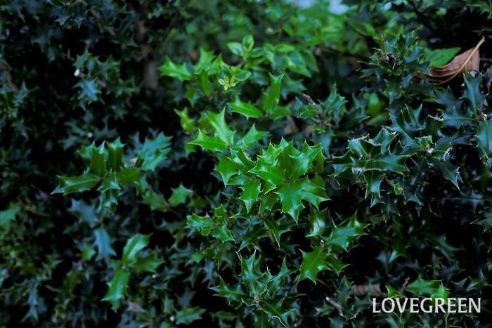 分類:常緑高木 樹高:3m以上 花期:10月~12月 ヒイラギはギザギザとしたノコギリのような葉が印象的な、中国原産の常緑樹です。クリスマスの時期に赤い実を付ける西洋ヒイラギとは別種です。葉の表面には光沢があります。葉が尖っているので防犯の役割を果たすとされ、生垣として人気があります。