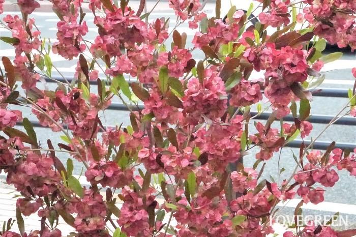 分類:常緑低木 樹高:1~3m 花期:6月 ドドナエアはムクロジ科の常緑低木です。葉色がグリーンのものと赤銅色のものがあります。オリーブを思わせるような華奢な樹形が魅力です。大きくなり過ぎないので、育てやすい庭木です。
