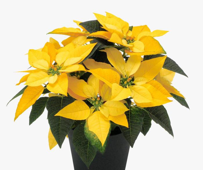 ハクサンが2020年秋に日本で販売開始したポールエッケ社の黄色いポインセチア「イエロー・ルクス」