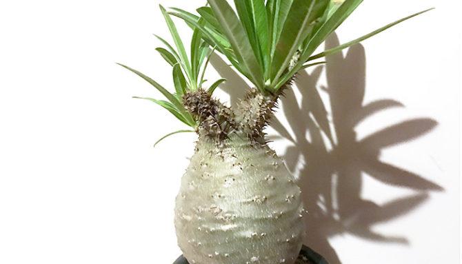 塊根植物(コーデックス)は、主にマダガスカルや北米・南米・アフリカなどに自生する多肉植物の総称のこと。太く膨らんだ茎や根が特徴的で、そこに水分を蓄えています。ユニークな形をした様々なタイプがあります。