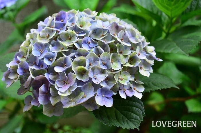 新しく品種改良されてできたアジサイの中には、きれいな秋色に変化するように作られている品種も出てきました。西安(シーアン)やマジカル系など、年々色々な品種が出回っています。