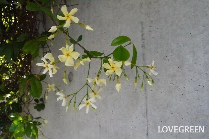 分類:常緑つる性木本 樹高:3~5m 花期:5月~6月 テイカカズラは日本原産の、香りの良い花を咲かせる常緑性のつる植物です。葉の密度が高く良く生長するので、フェンスやトレリスに絡ませると生垣として利用できます。